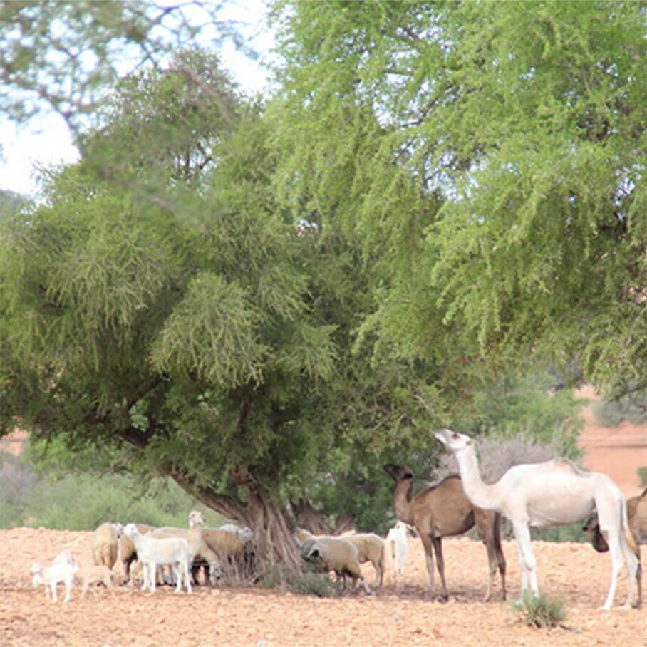 アルガンツリーとヤギ